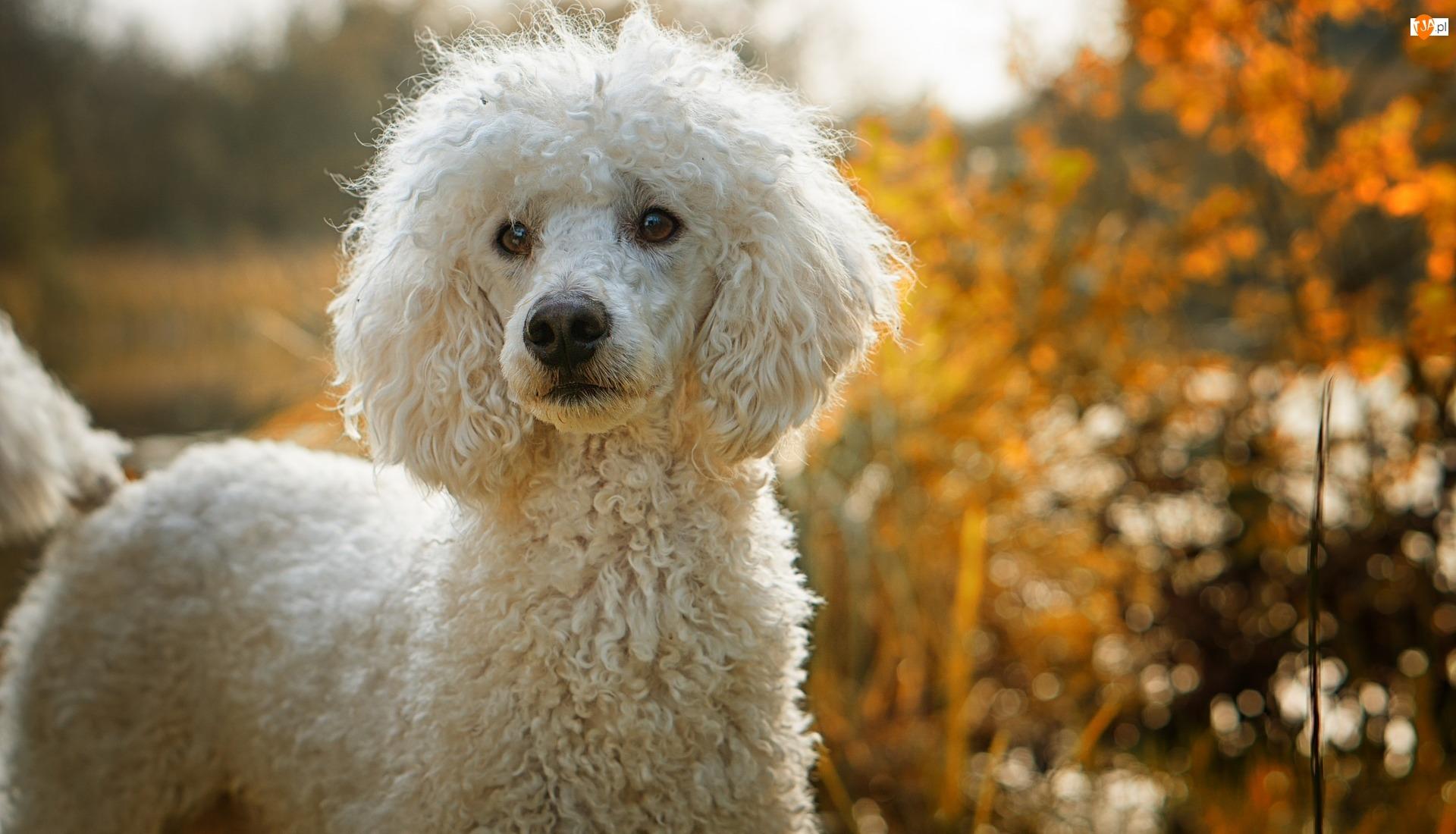 Pudel, Pies, Biały