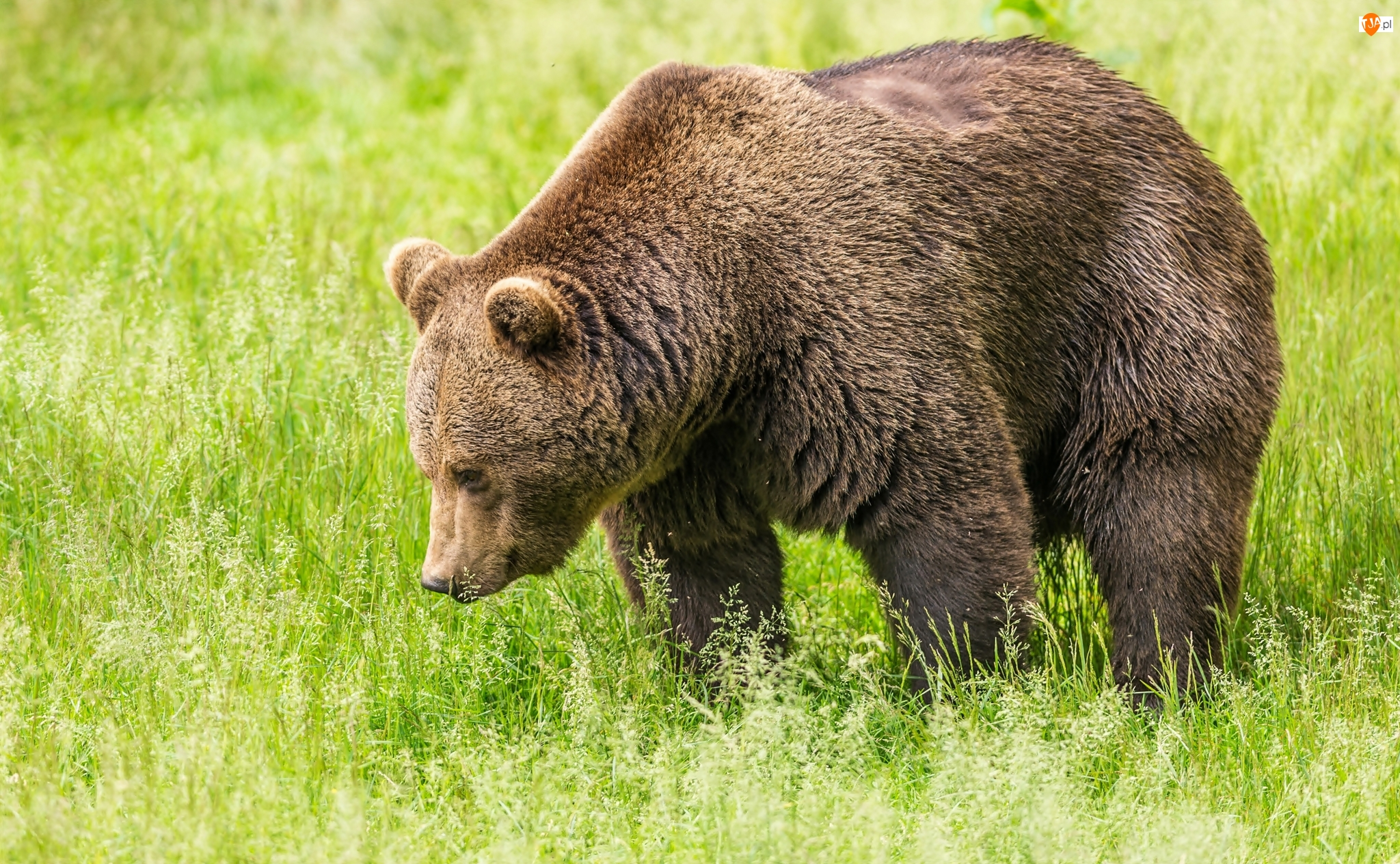 Niedźwiedź brunatny, Trawa