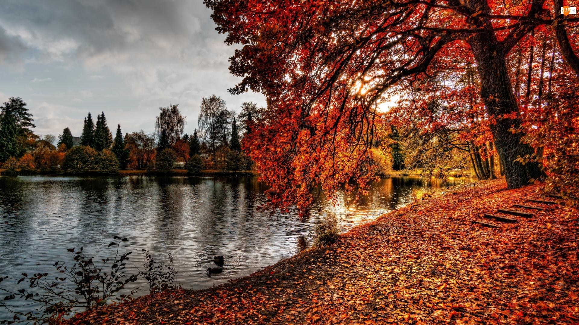 Drzewa, Jesień, Kaczki, Staw, Park