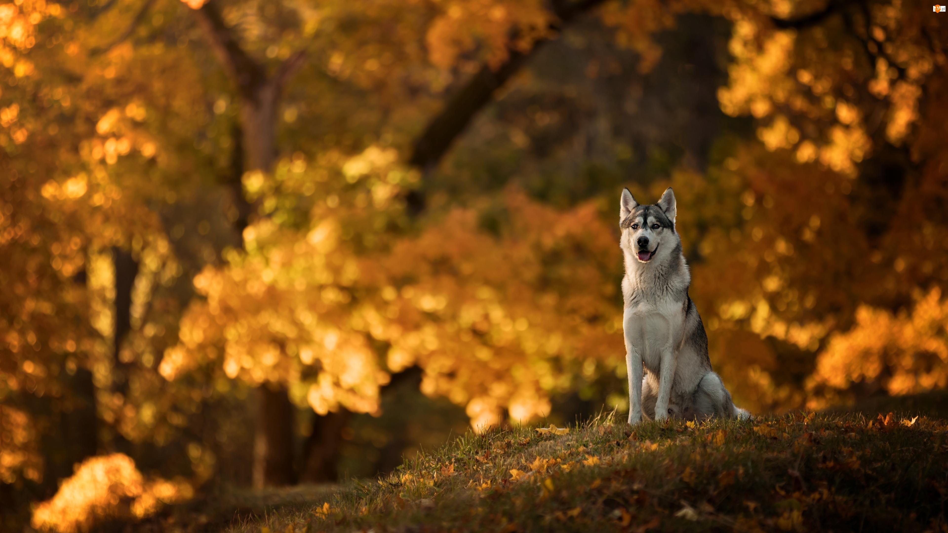 Pies, Park, Siberian husky, Polana
