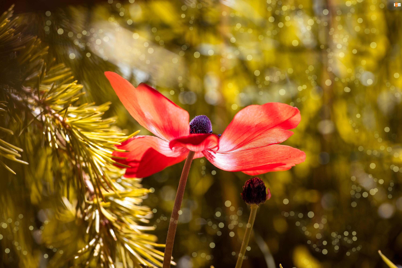 Światło, Kwiat, Zawilec, Czerwony, Gałązka