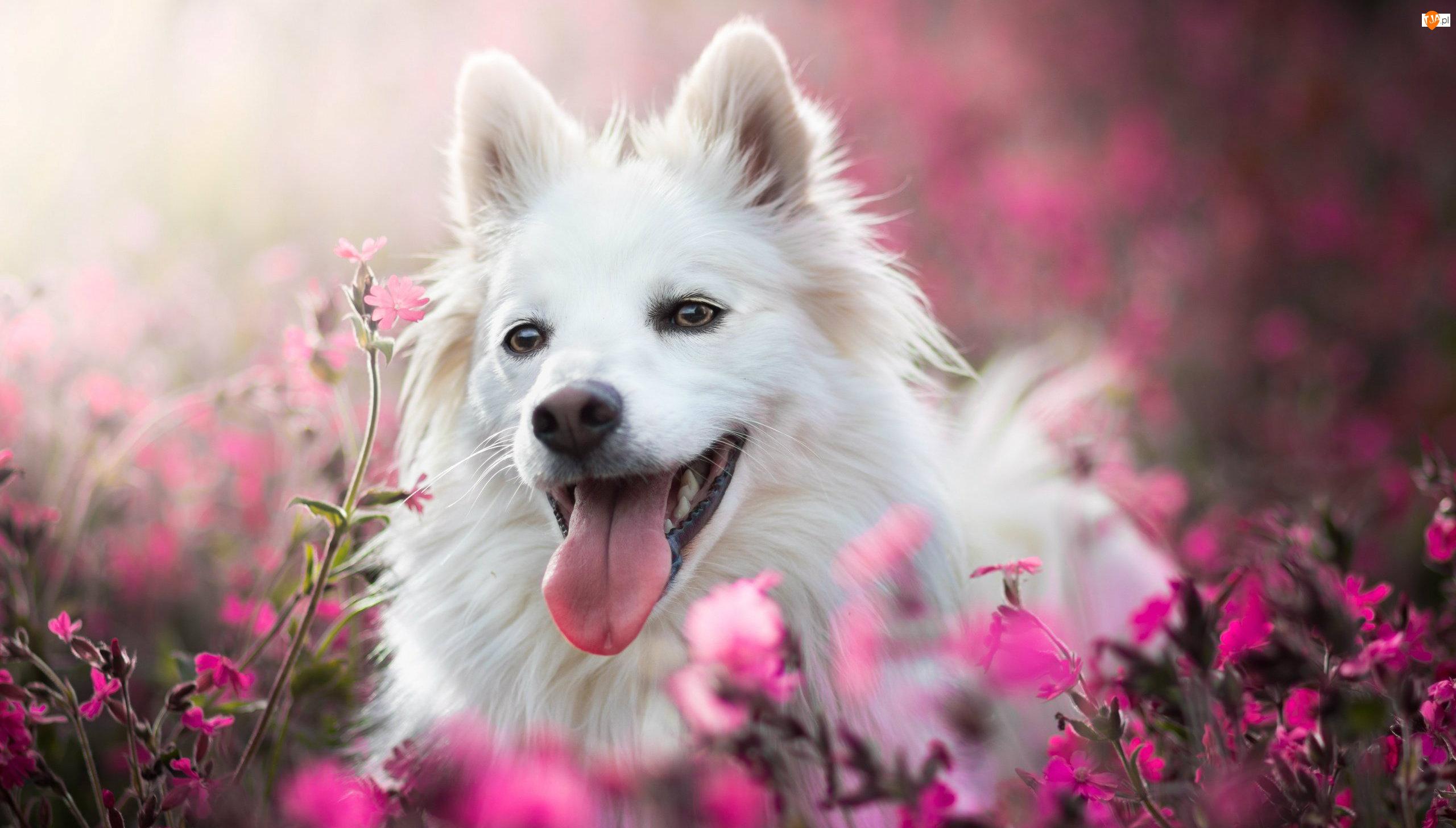 Biały, Rozmycie, Pies, Kwiaty