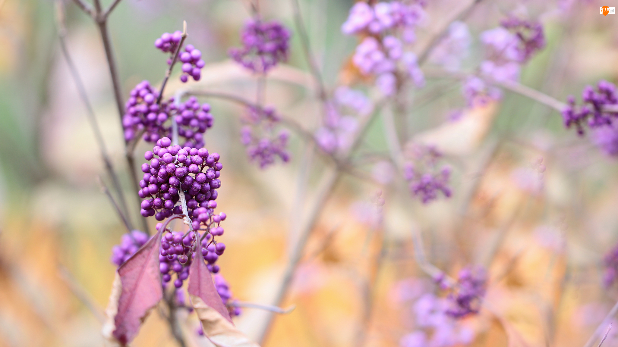 Pięknotka Bodiniera, Krzew, Fioletowe, Owoce