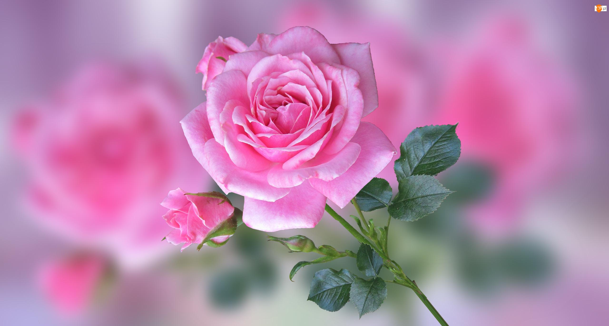 Rozmycie, Róża, Pączki