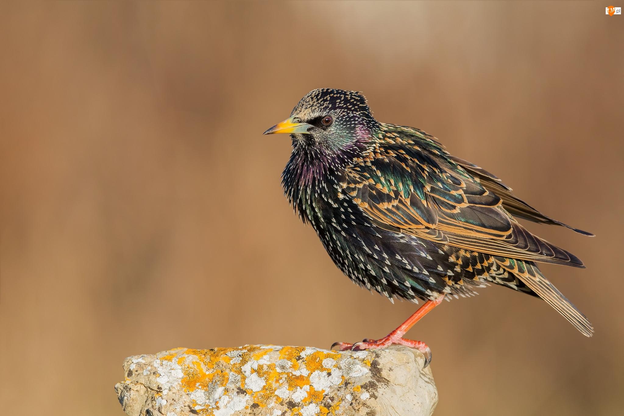 Ptak, Szpak zwyczajny