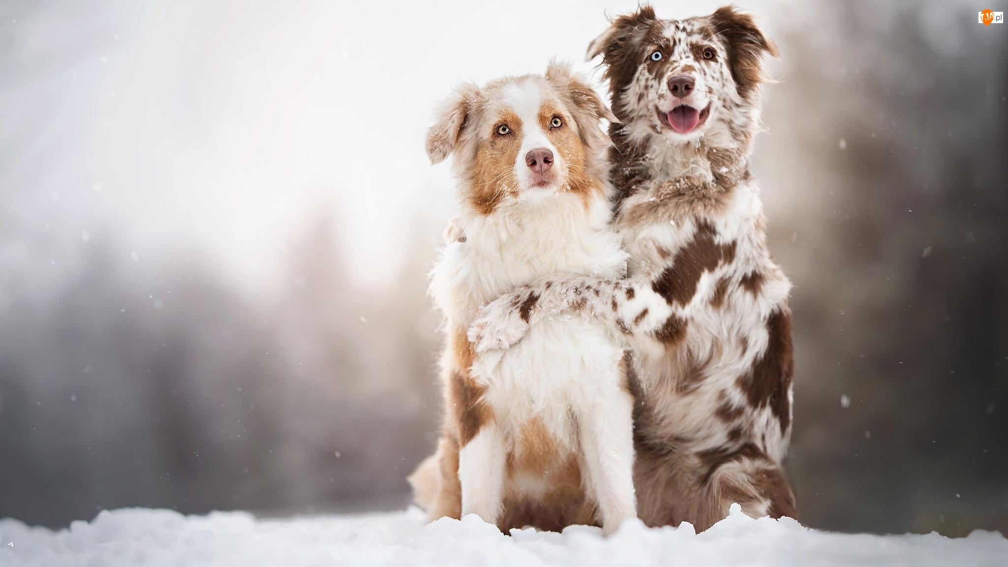 Dwa, Śnieg, Psy, Owczarki australijskie