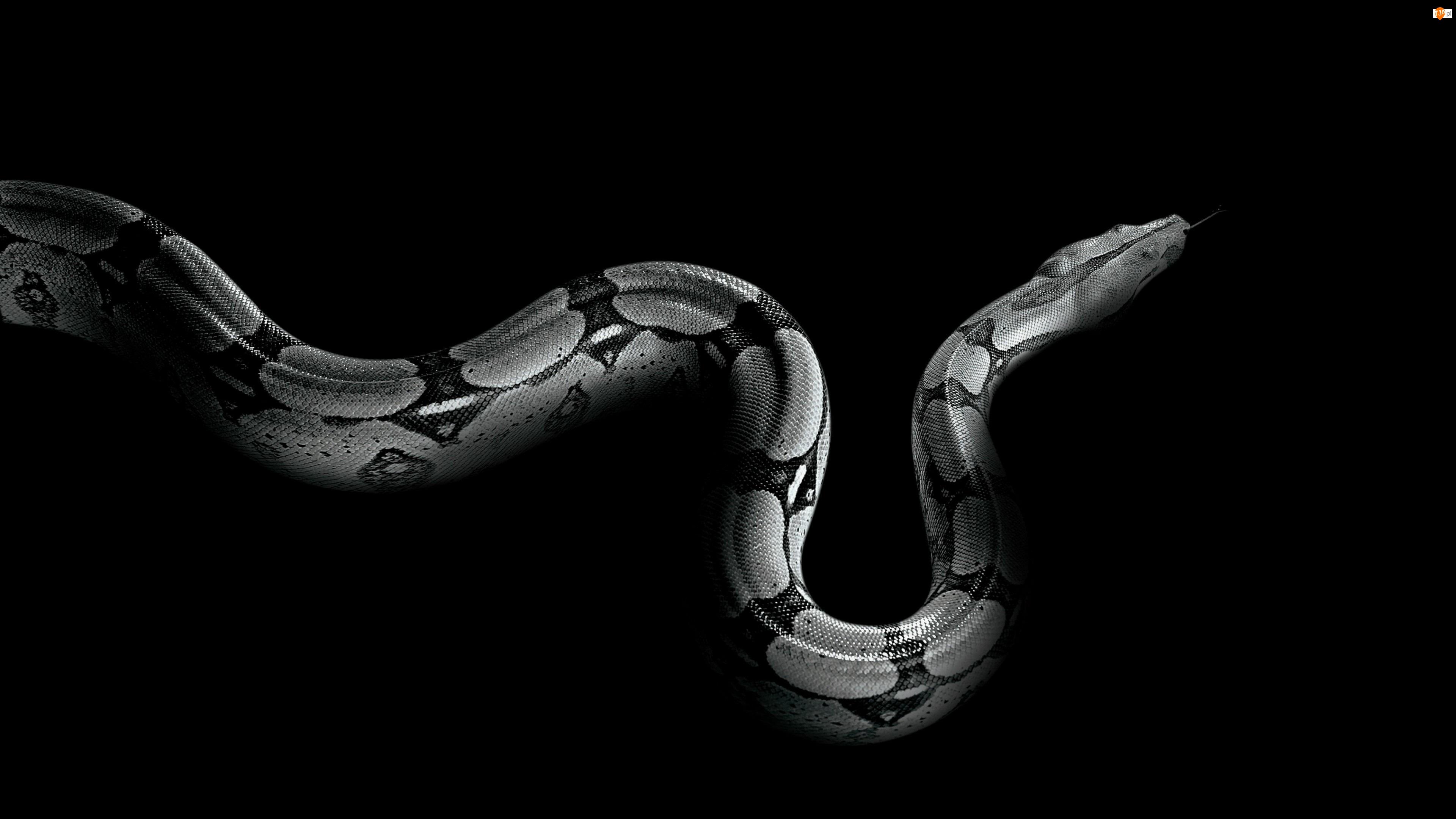 Wąż, Czarno-Białe, Pyton, Gad