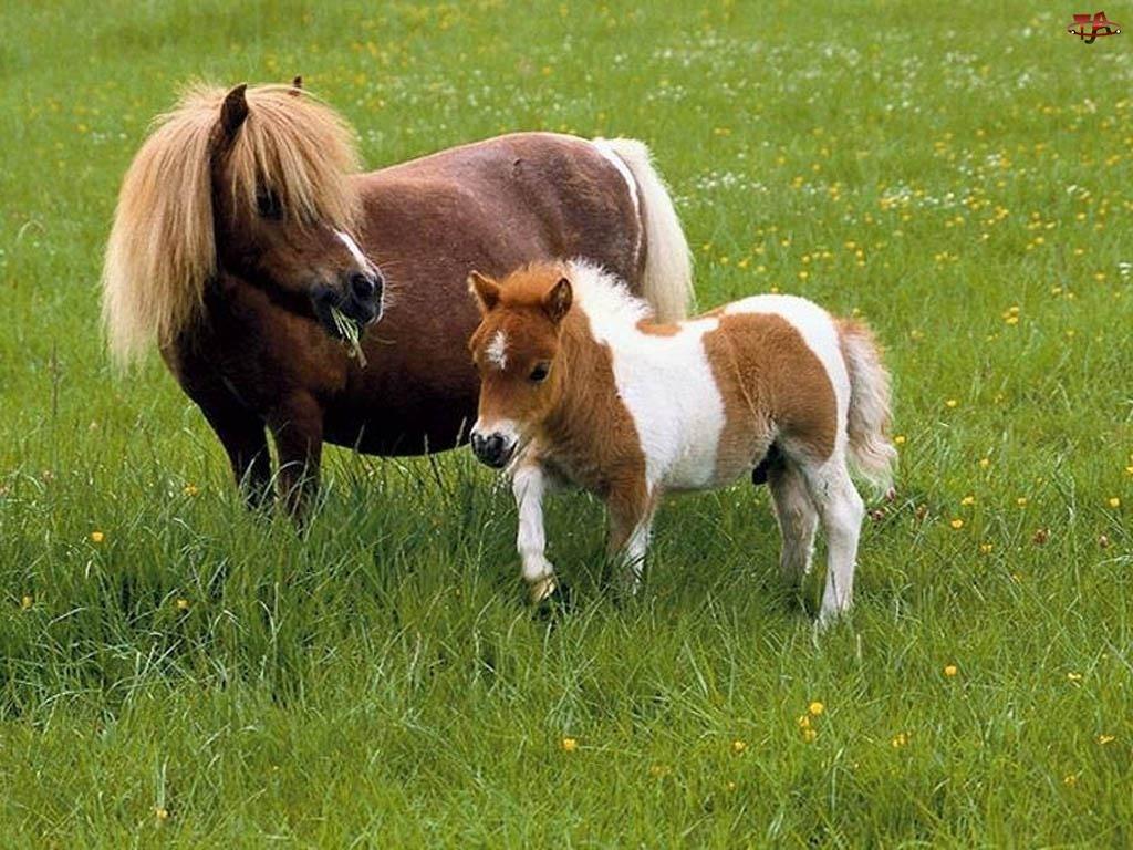 źrebię, Koń, kuc