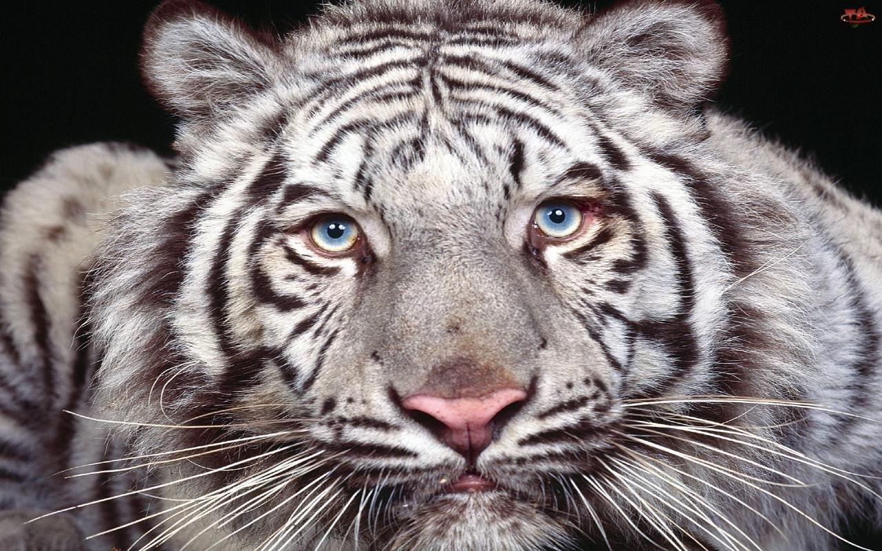 Pysk, Biały, Tygrys