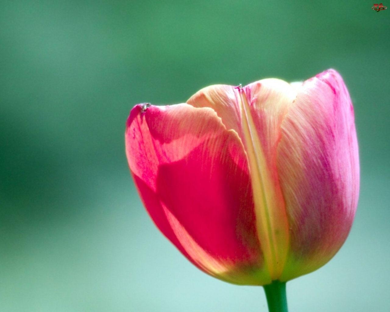 Kolorowy, Tulipan