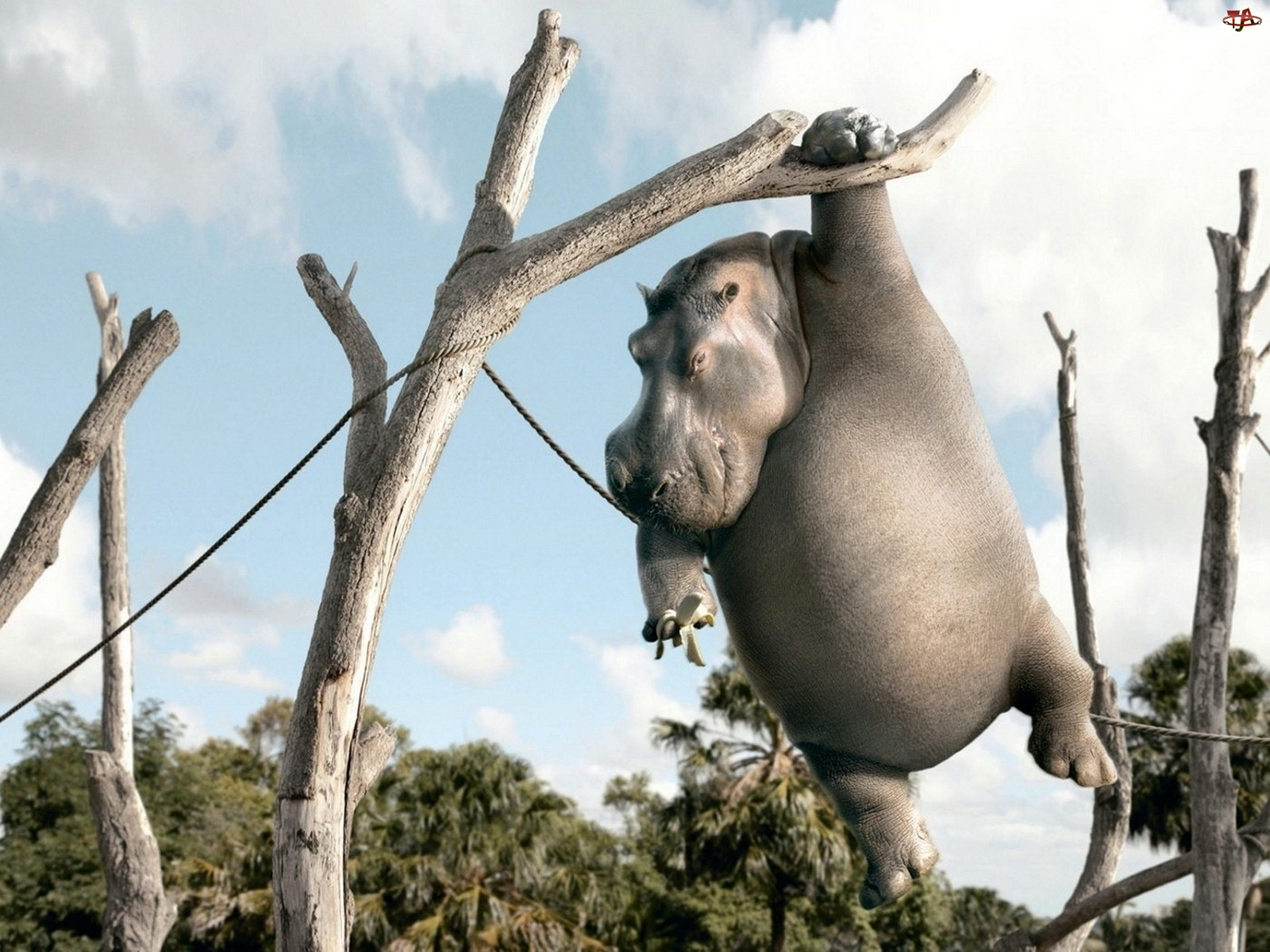 Hipopotam, Banan, Na, Drzewie