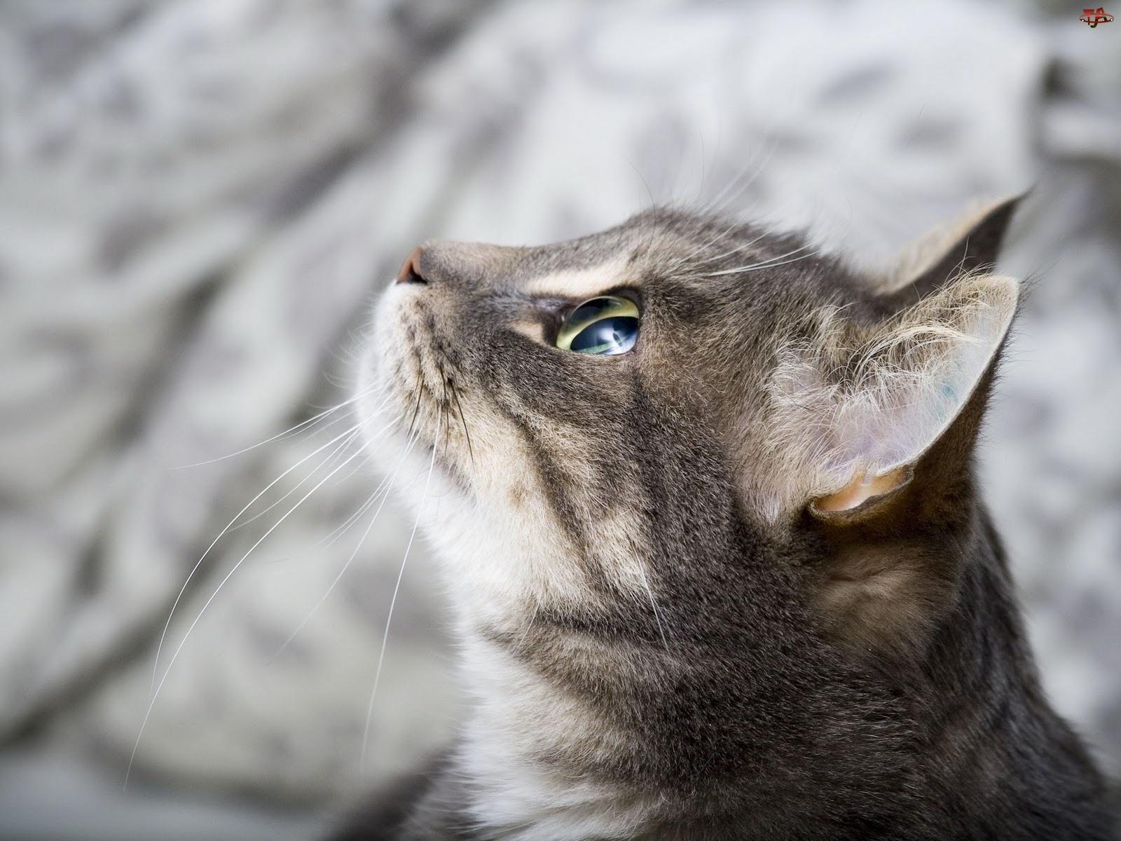 Kot, Zapatrzony, Szary
