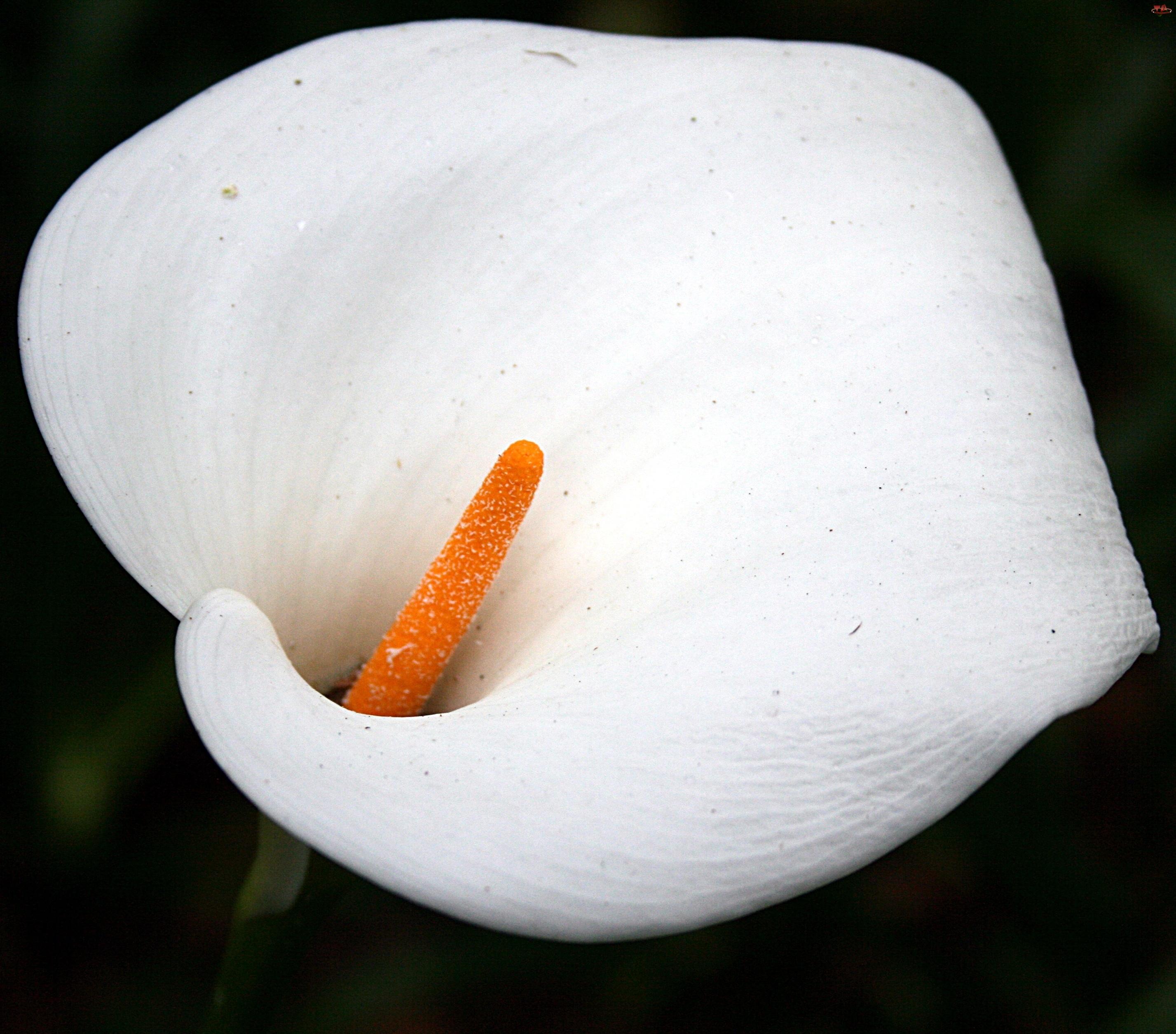 Kalia, Kwiat, Biała
