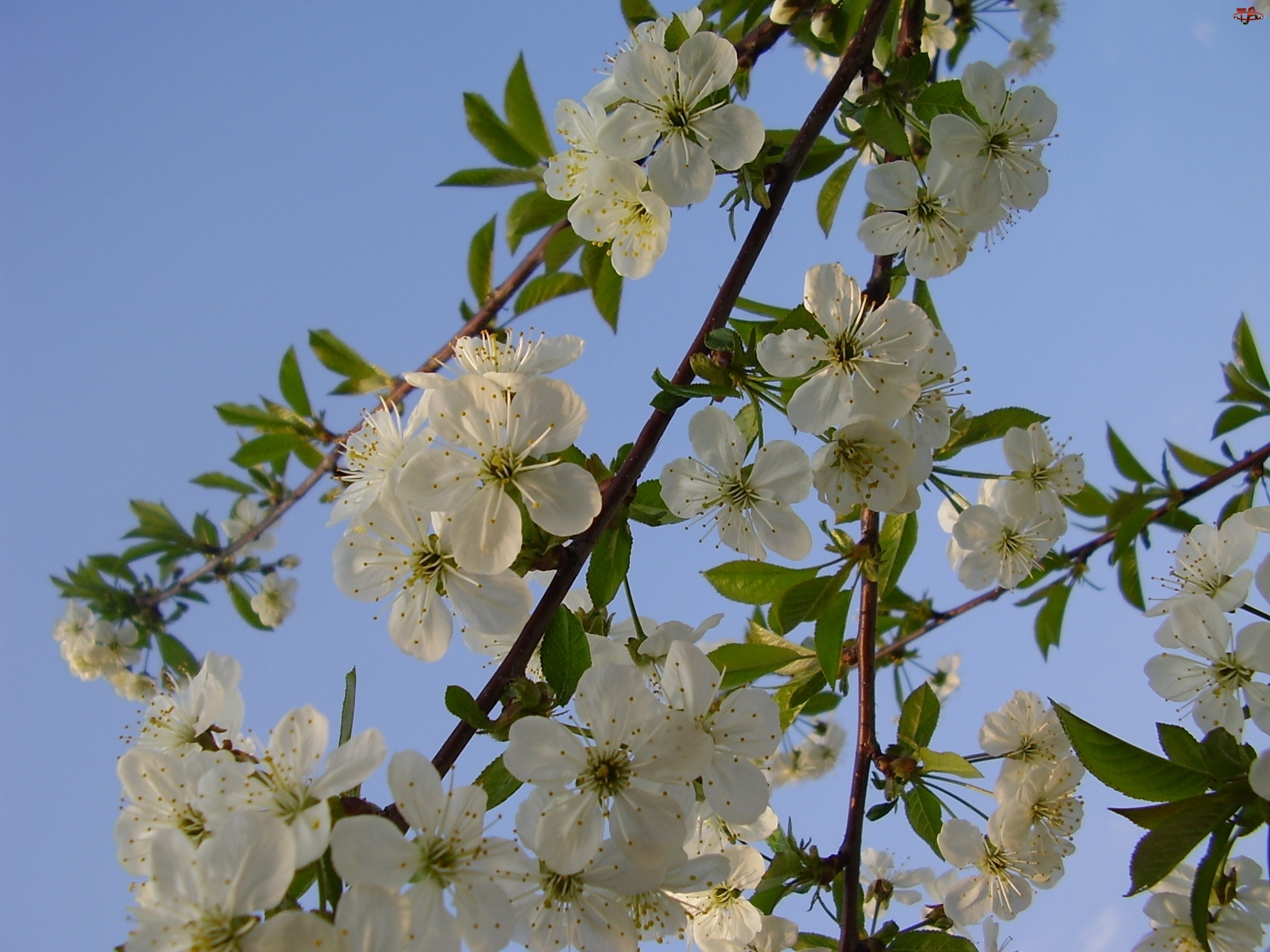 kwiat, jabłoń