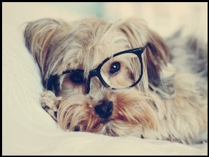 Yorkshire Terrier, Pies, Okulary