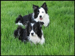 Dwa, Trawa, Pieski, Border Collie