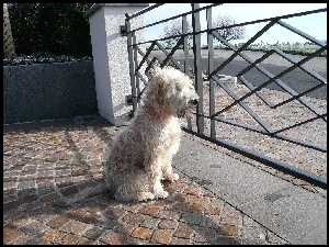 Irish Soft coated wheaten terrier, ogrodzenie