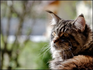 Kot, Maine coon