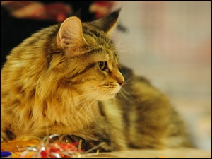 Rudy, Maine Coon