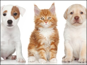 Labrador Retriever, Pies, Kot, Jack Russell Terrier, Maine Coon