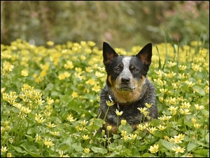 Australian Cattle Dog w kwiatach