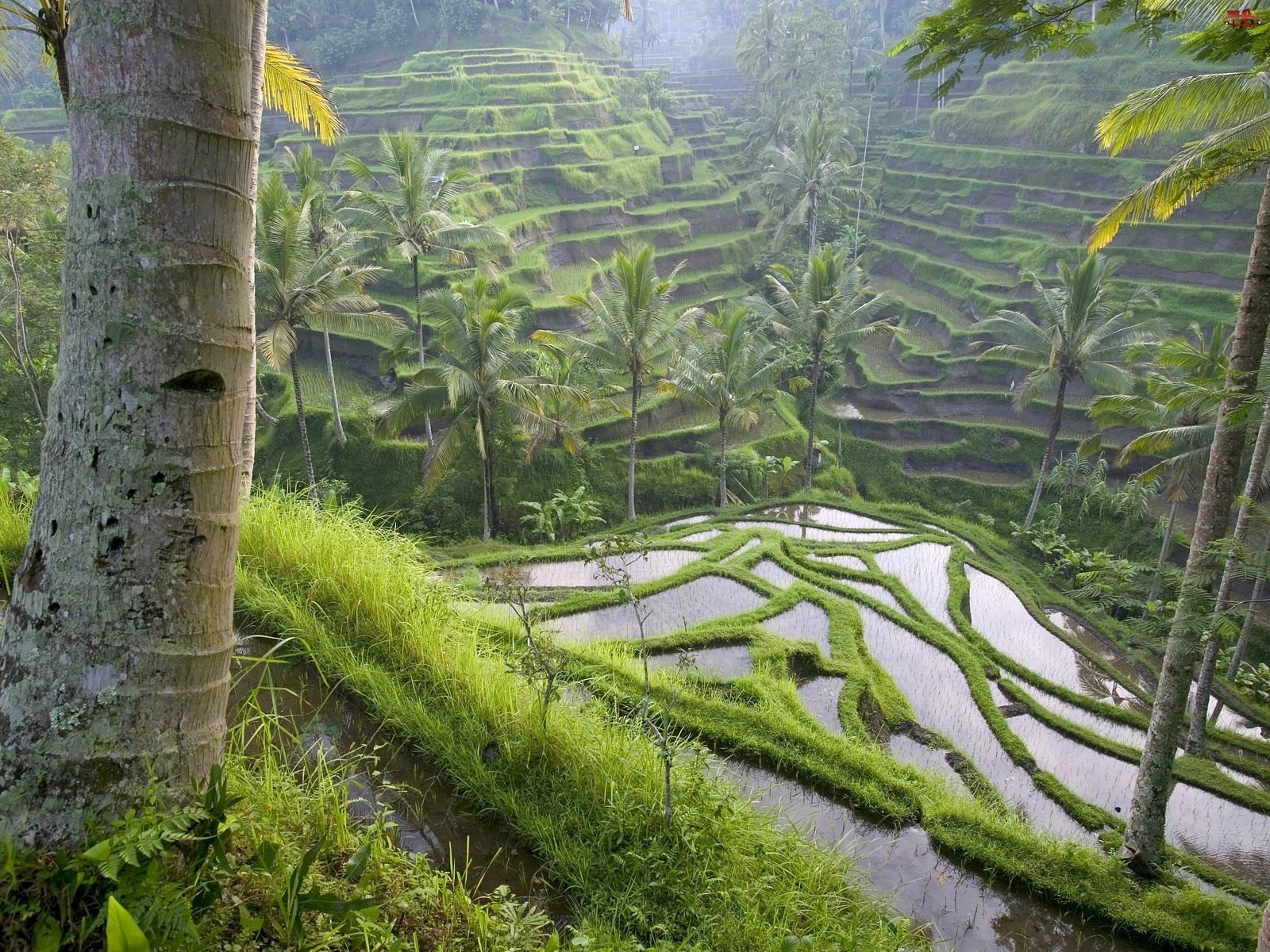 Pole, Indonezja, Ryżowe, Bali