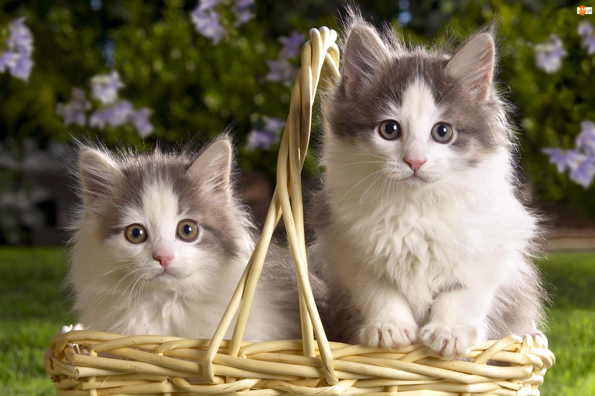 Wiklinowy, Koty, Kosz, Dwa