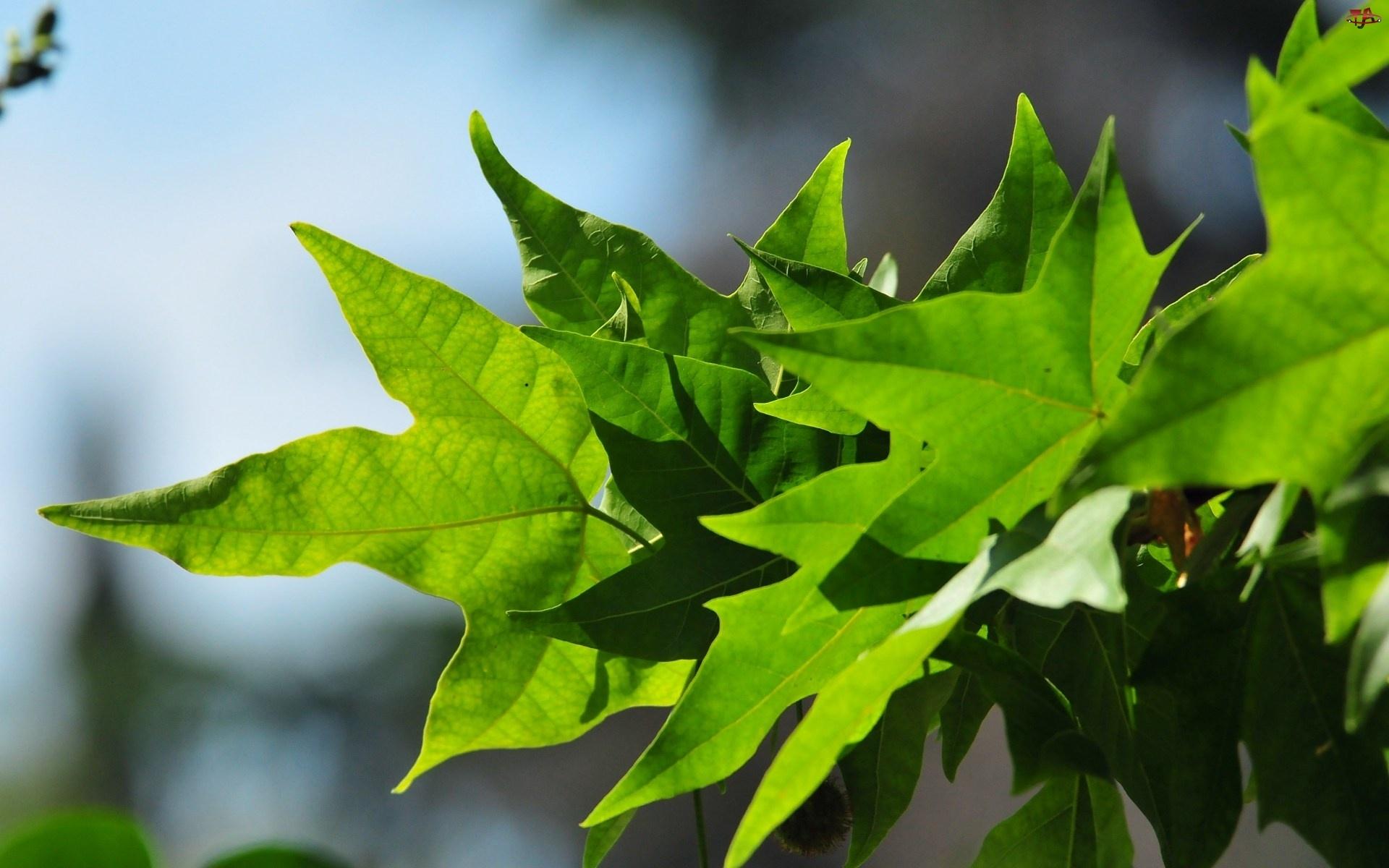 Klonu, Zielone, Liście