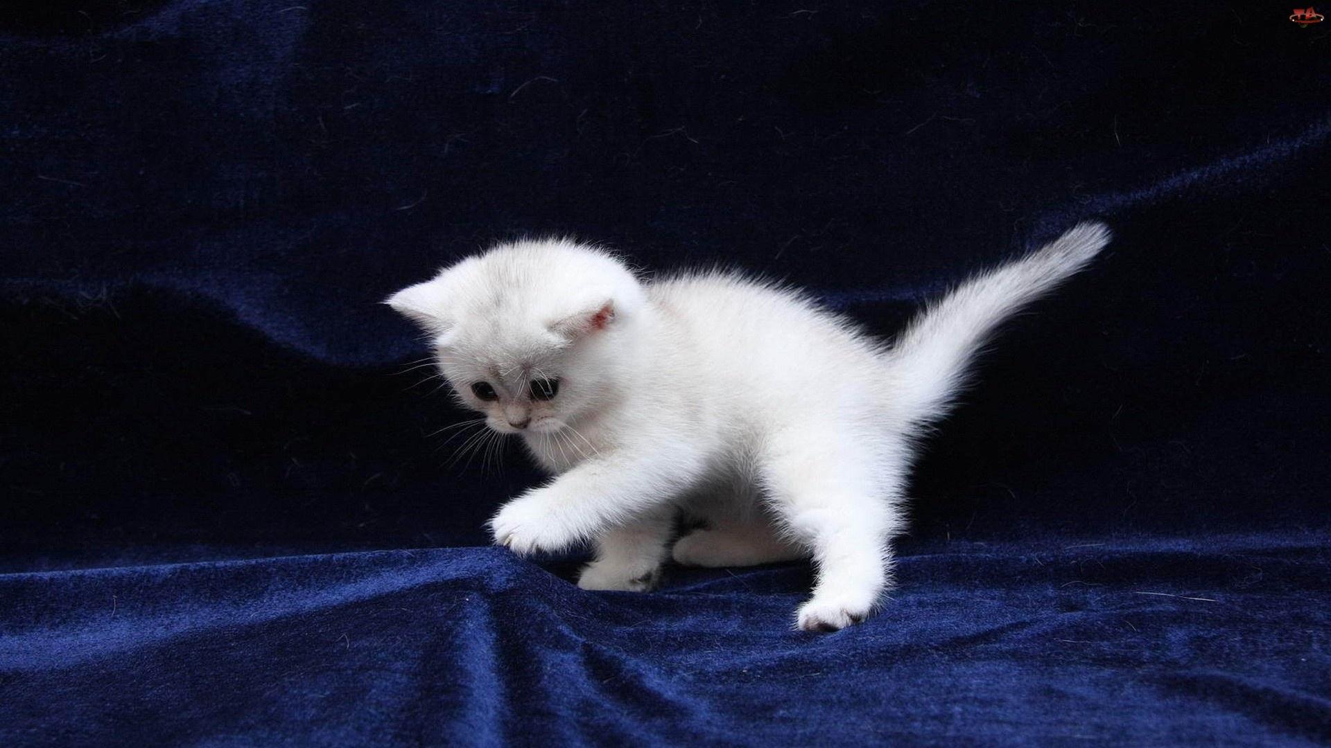 Młody, Zabawa, Biały, Kotek
