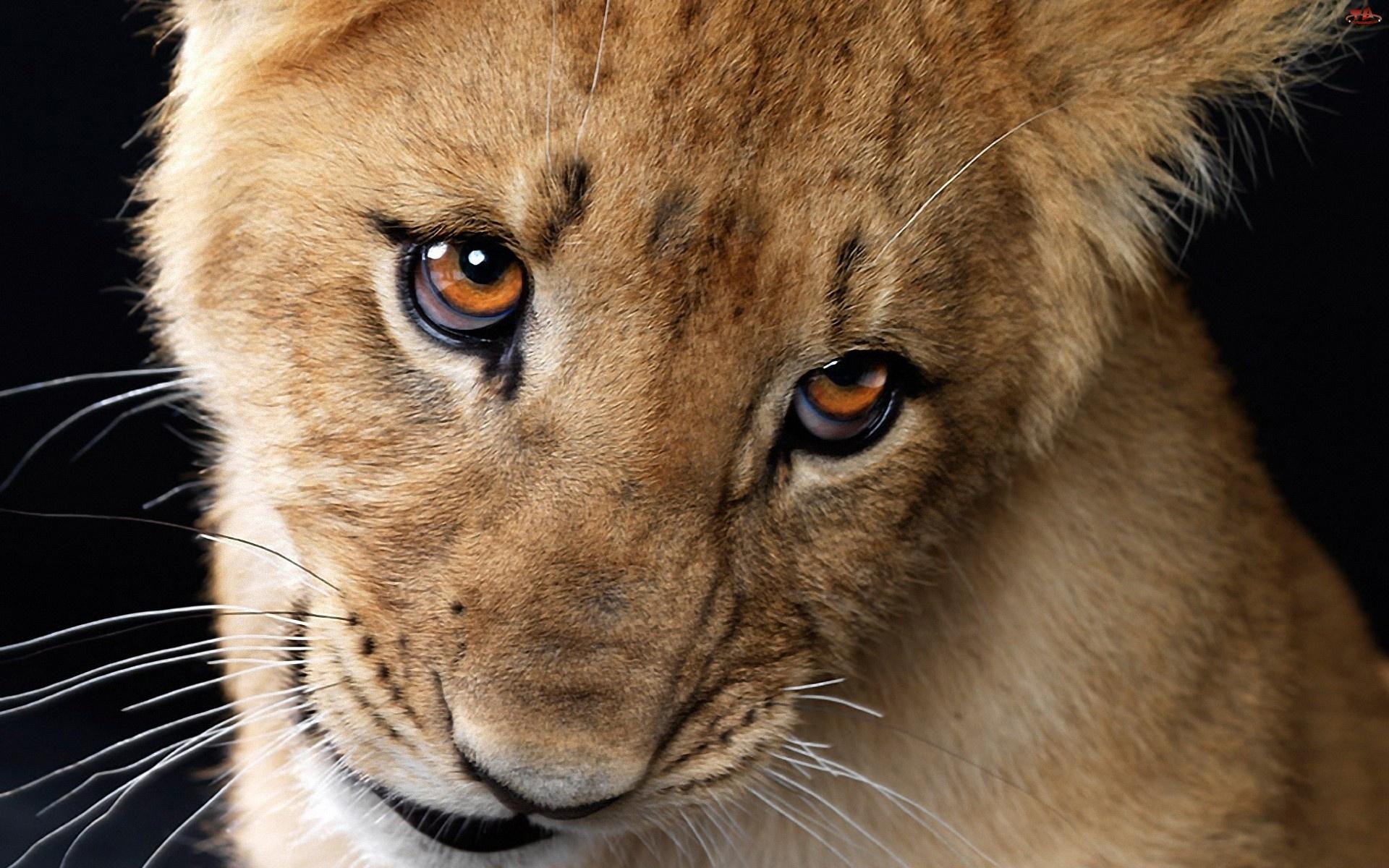 Lew, Oczy
