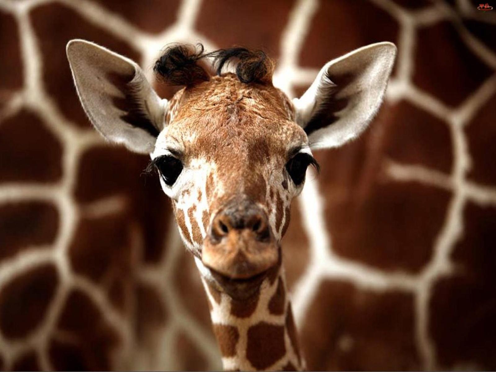Mała, Żyrafa