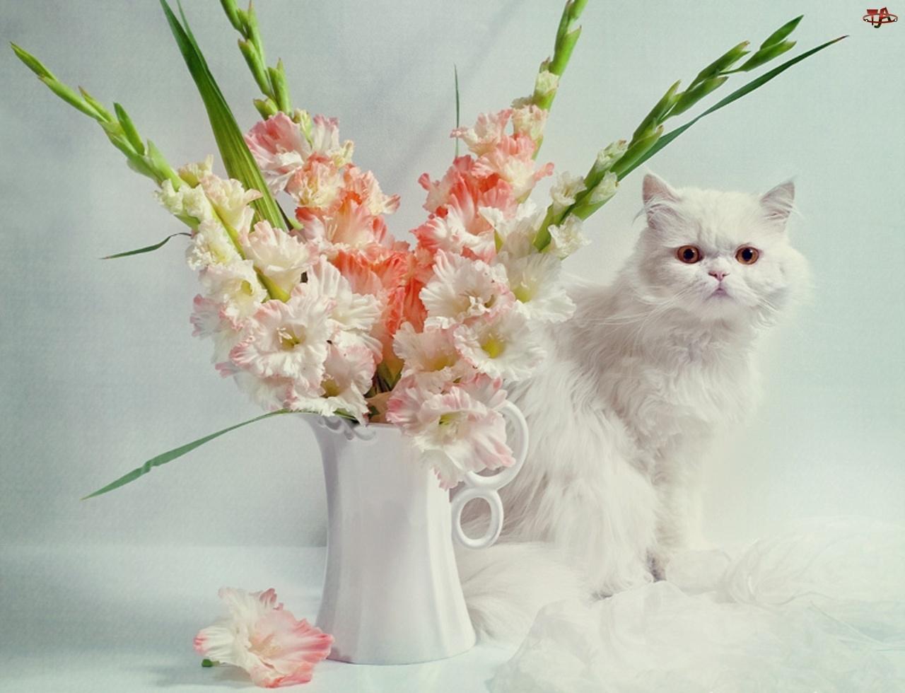 Mieczyki, Biały, Kot