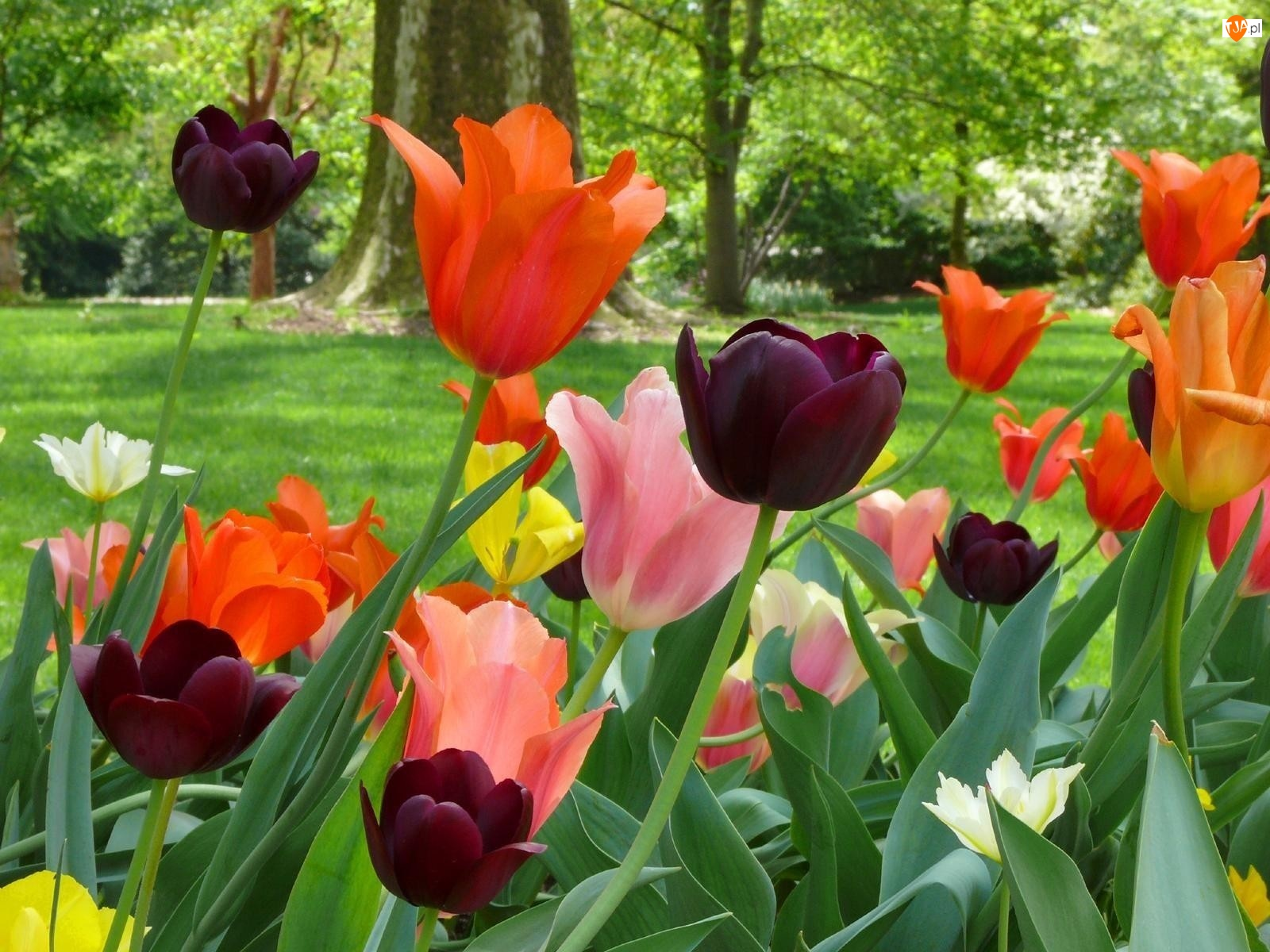 Kolorowe, Drzewa, Tulipany, Trawnik
