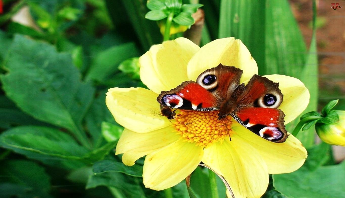 Motyl, Dalii, Na, Żółtej
