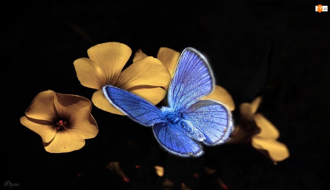 Niebieski, Kwiatki, Motyl modraszek, Żółte