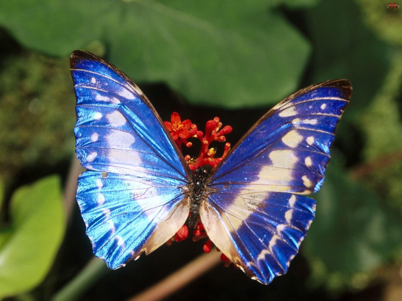Motyl, niebieski