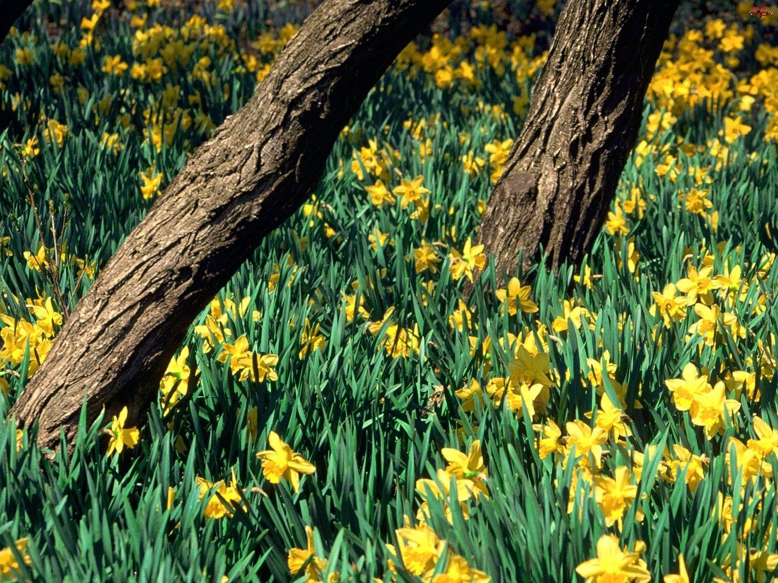 Żółte, Drzew, Żonkile, Pnie