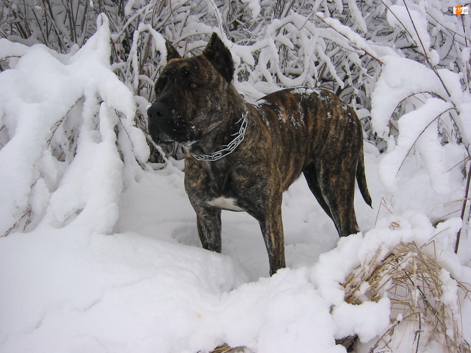Zima, Perro de Presa Canario, Śnieg