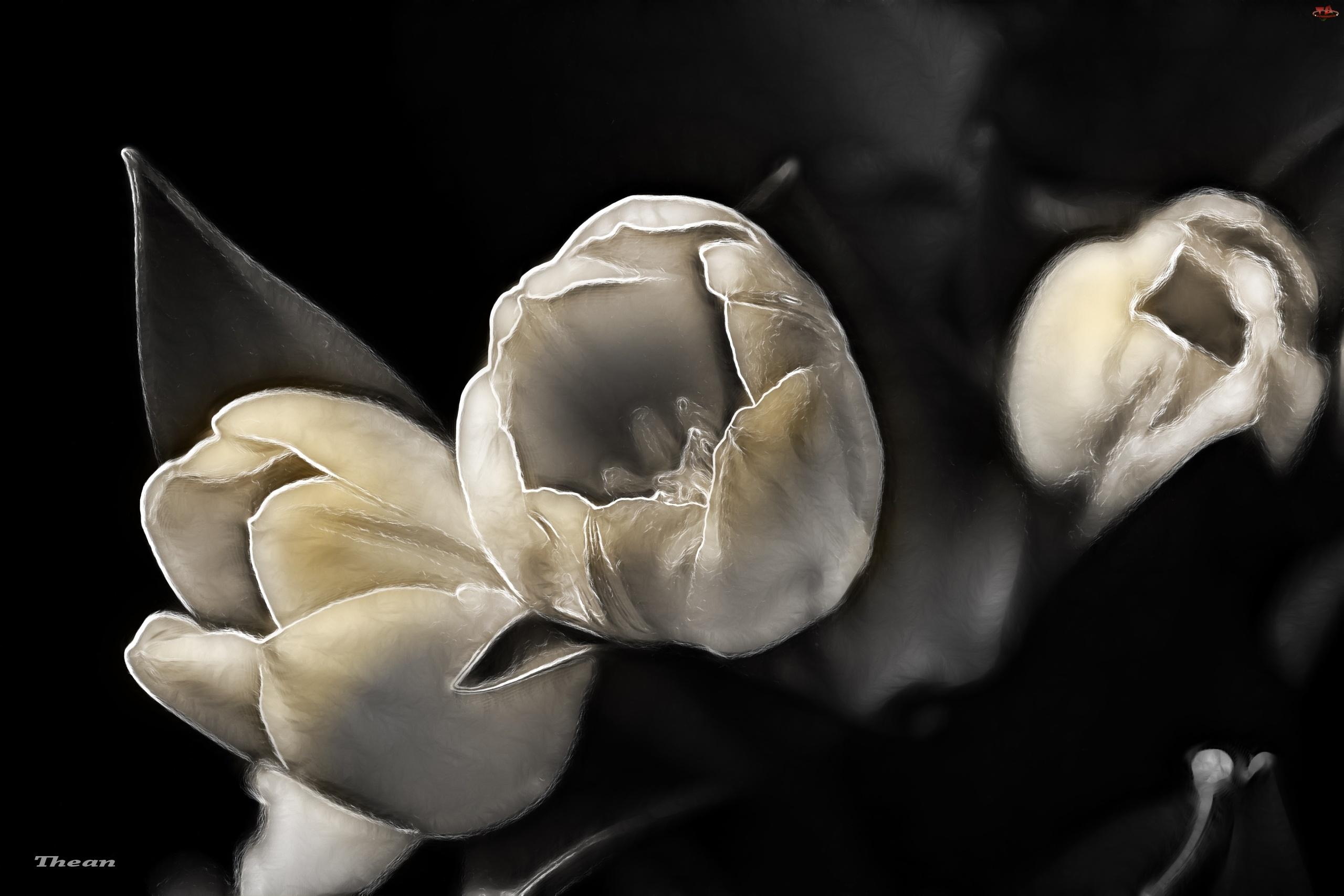 Tulipany, Fractalius
