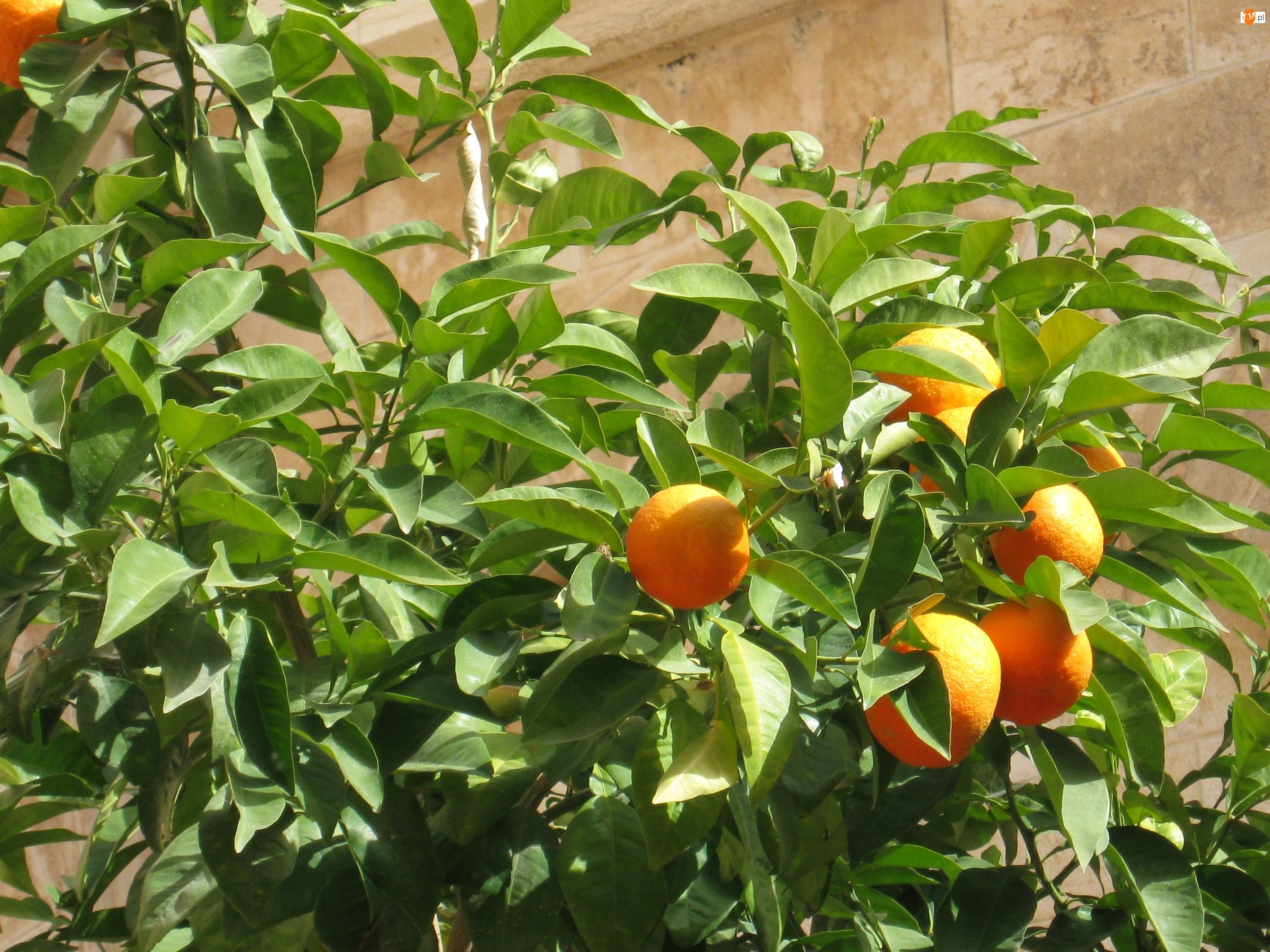 Owoce, Mandarynki, Drzewko