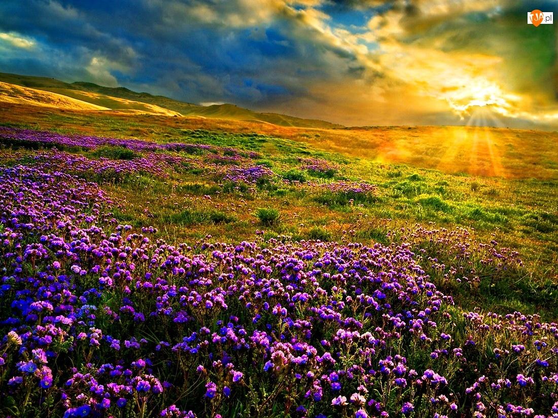 Kwiatuszki, Zachód, Łąka, Słońca, Fioletowe