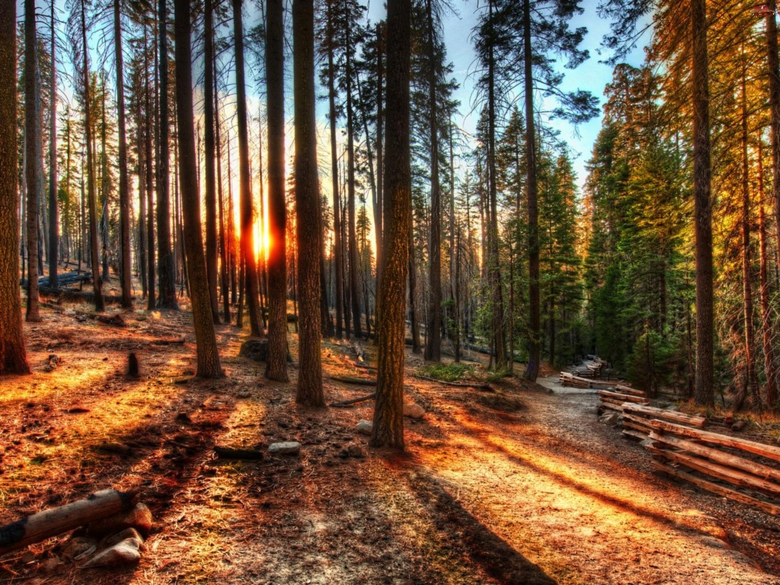 Słońce, Las, Drzewa