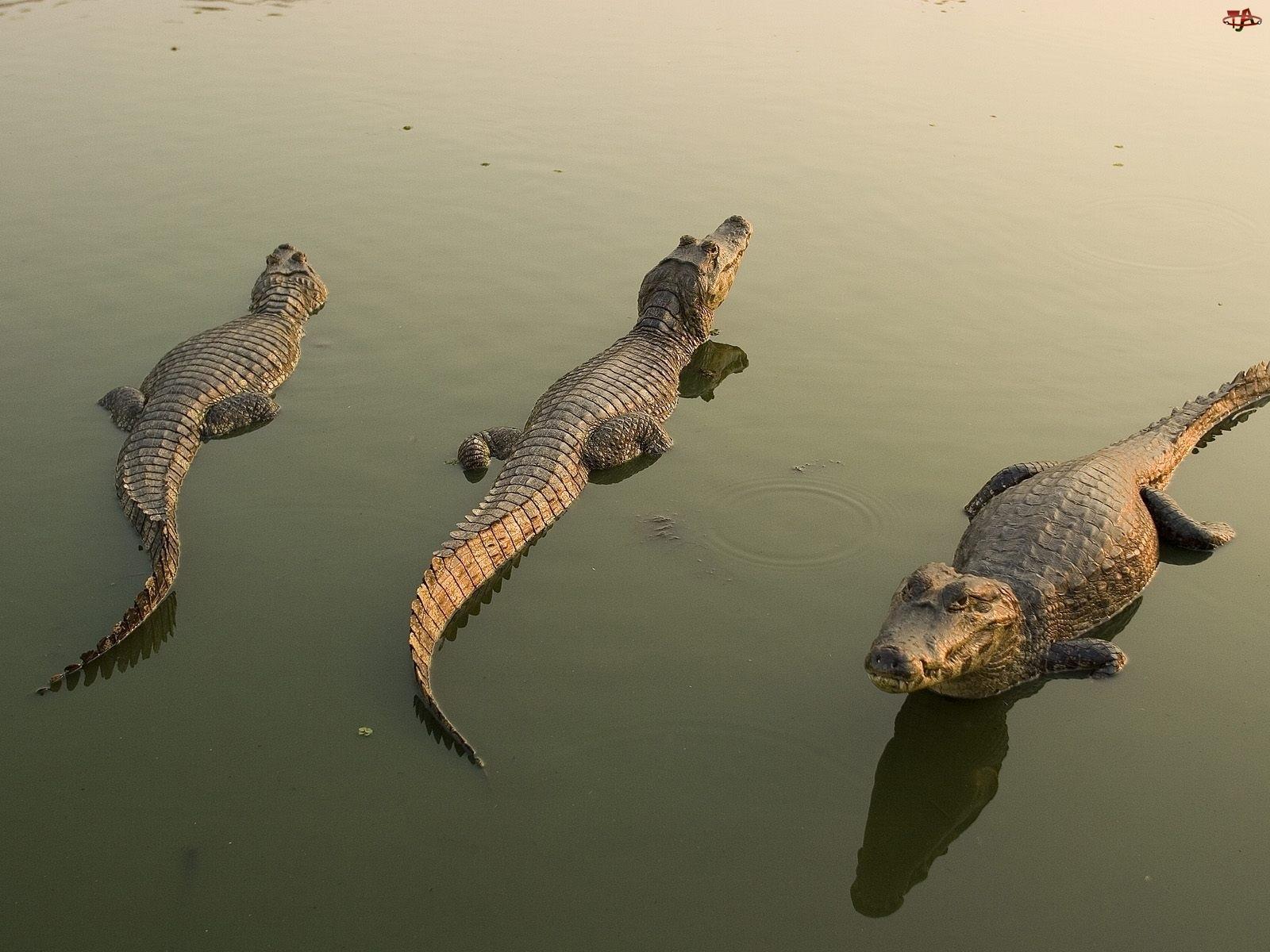 Woda, Trzy, Krokodyle