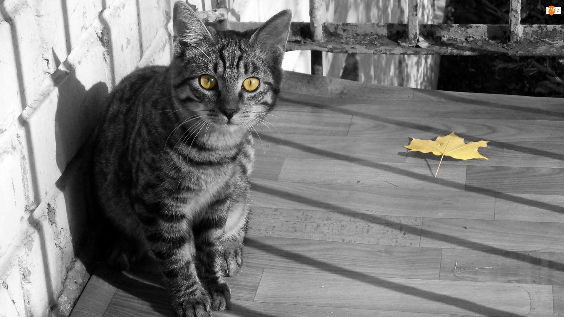 Żółty, Klonu, Dachowiec, Kot, Liść