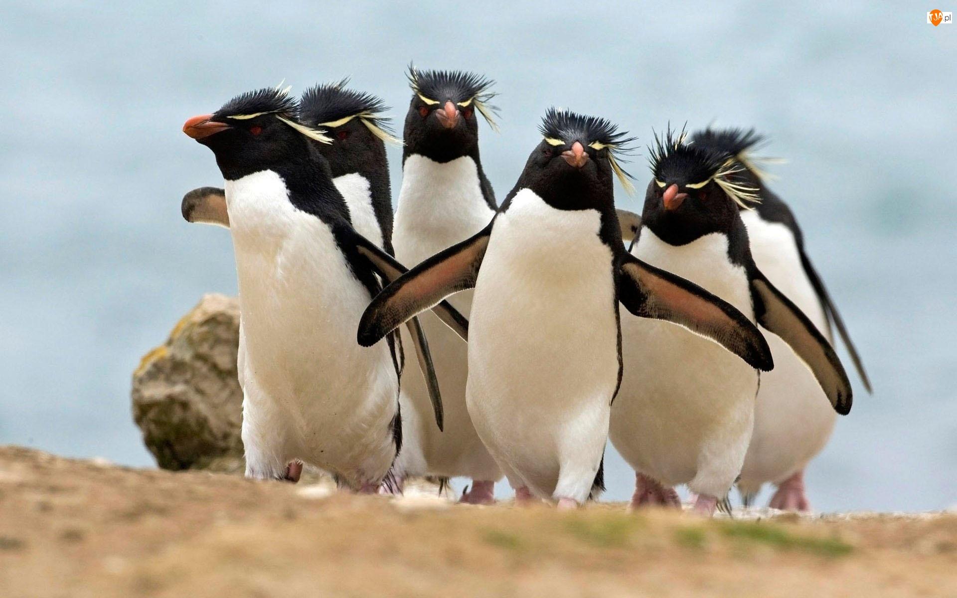 Pingwin Grzebieniasty, Stadko