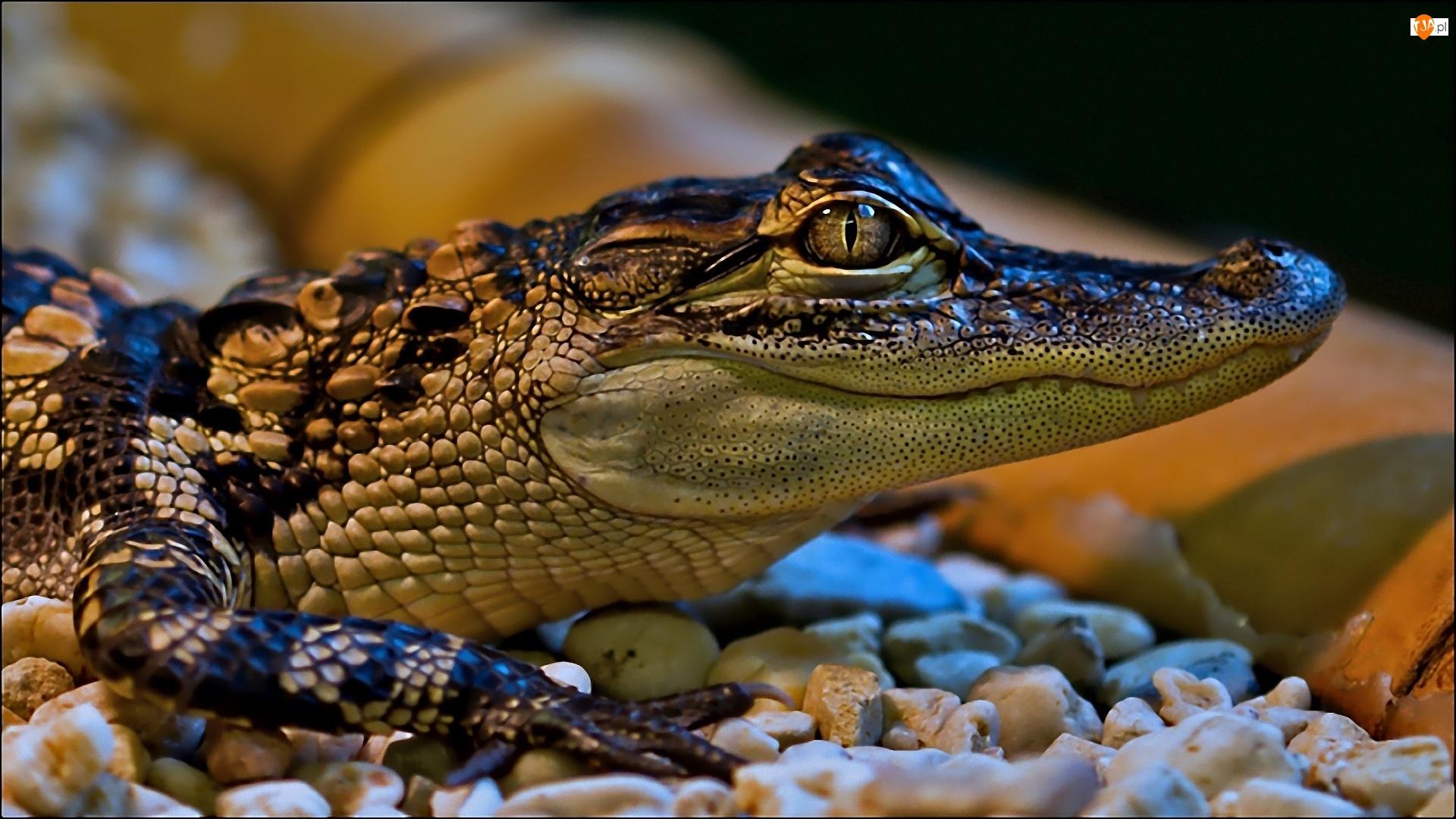 Kamyki, Młody, Krokodyl