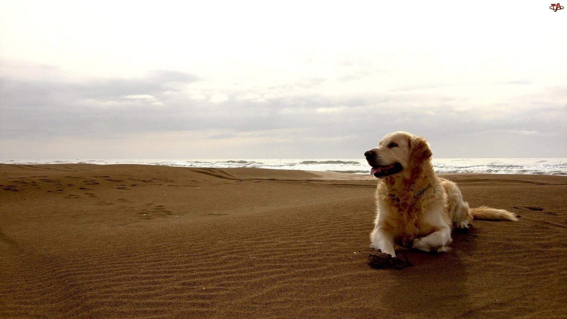 Pies, Morze, Golden Retriever, Plaża