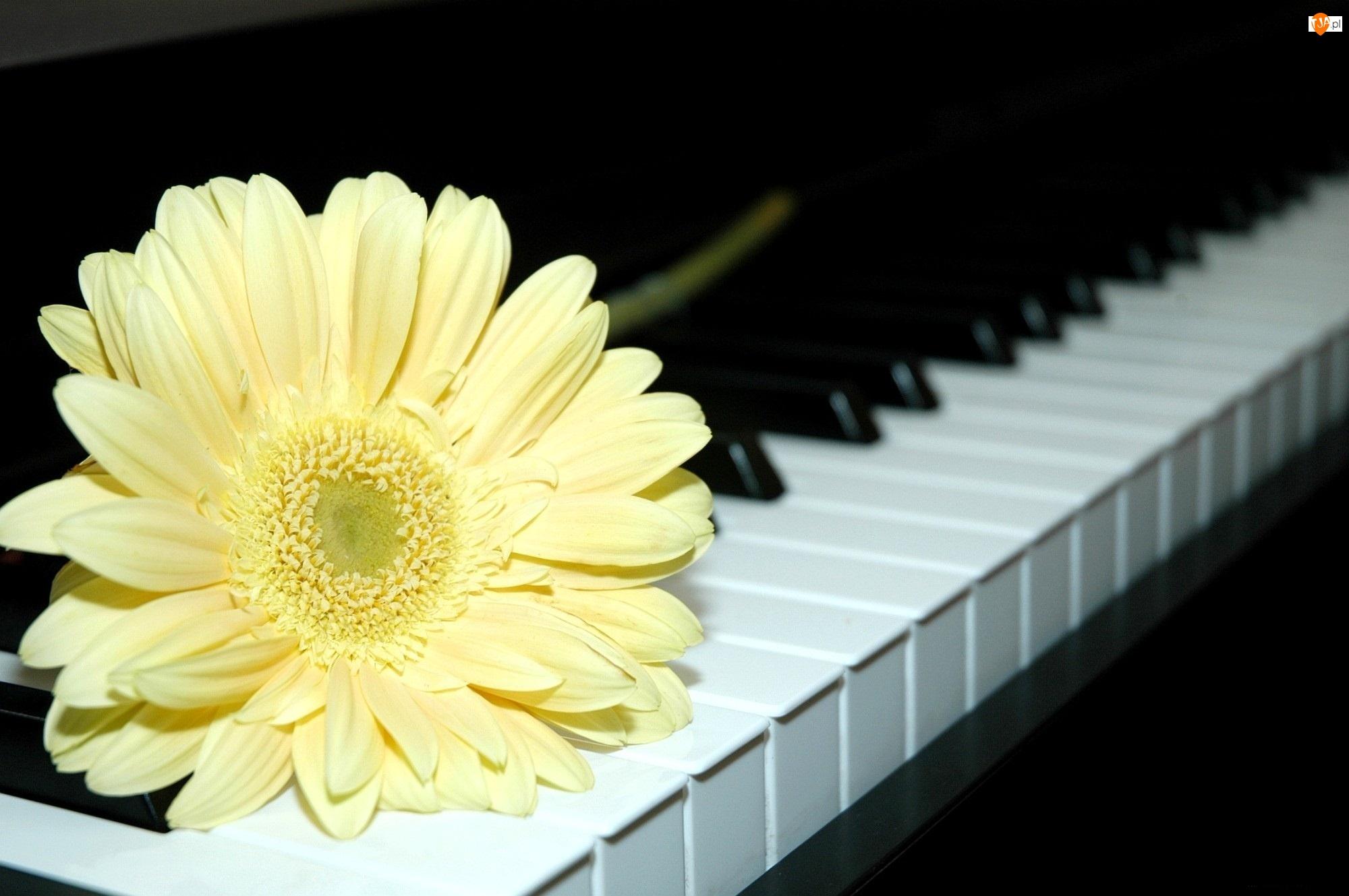 Kremowy, Pianino, Gerber, Klawiatura