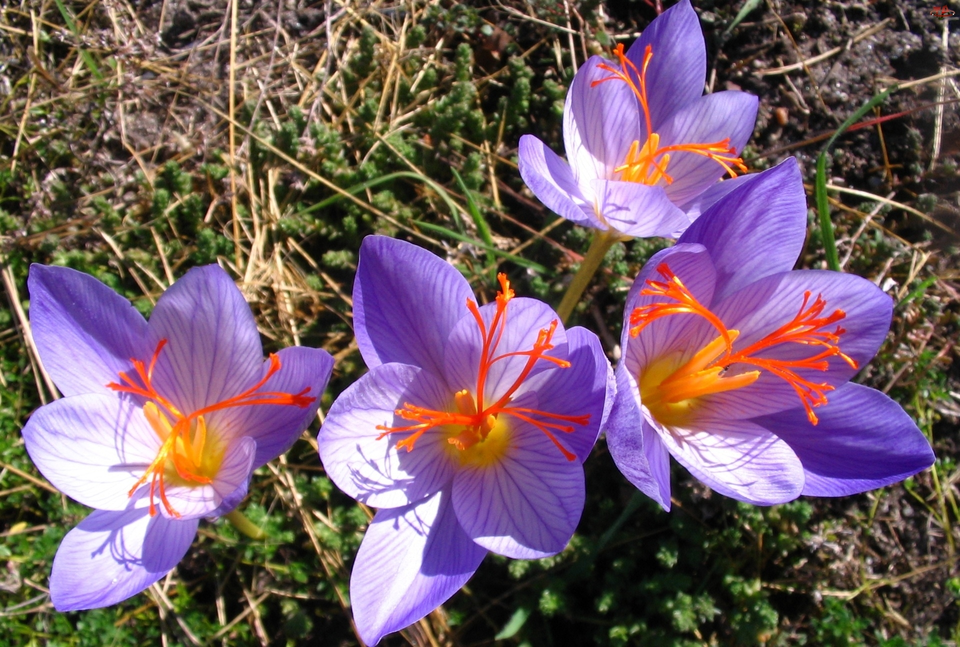 Kwiaty, Zimowity