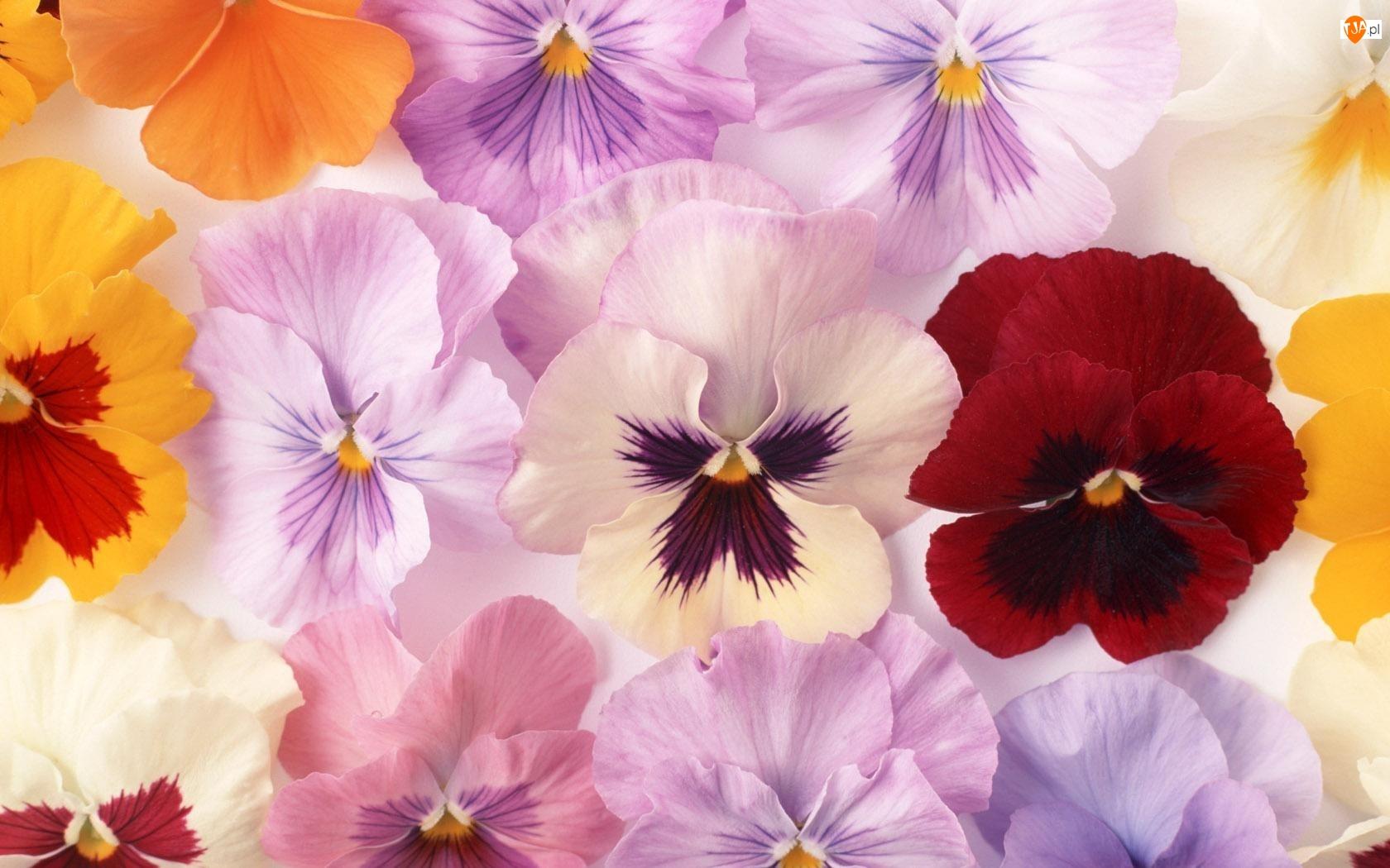Kwiaty, Bratki